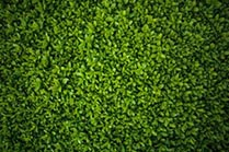 Close up of green Hedged leaves